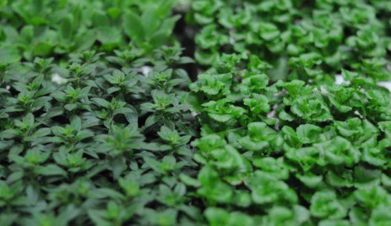 Nasiona i sadzonki