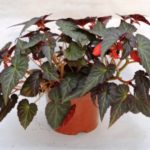 Begonia Elegance