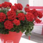 Rośliny rabatowe Florensis Polska - zdjęcie 17