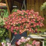 Rośliny rabatowe Florensis Polska - zdjęcie 18