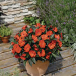 Rośliny rabatowe Florensis Polska - zdjęcie 19