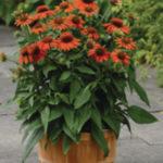 Rośliny rabatowe Florensis Polska - zdjęcie 22